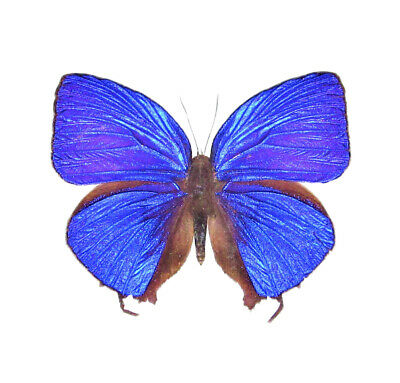 One Real Butterfly Blue Arhopala Cleander Indonesia Unmounted Wings Closed