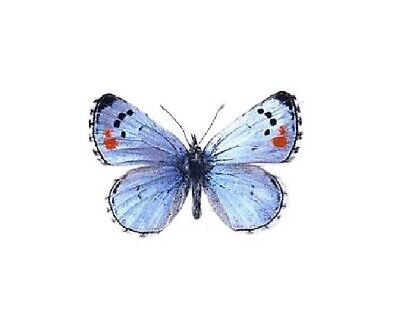 One Real Butterfly Blue Philotes Sonorensis California Unmounted Wings Closed