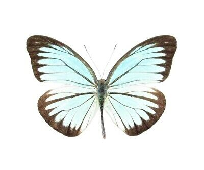 One Real Butterfly Blue Pareronia Valeria Malaysia Unmounted Wings Closed