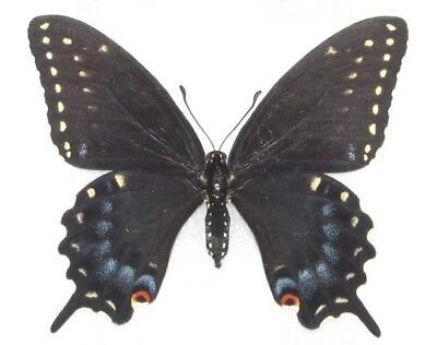 One Real Butterfly Blue Black Swallowtail Papilio Polyxenes Female Wings Closed