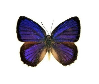 One Real Butterfly Blue Arhopala Admete Male Indonesia Wings Closed