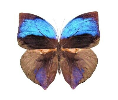 One Real Butterfly Blue Zeuxidia Aurelius Malaysia Unmounted Wings Closed