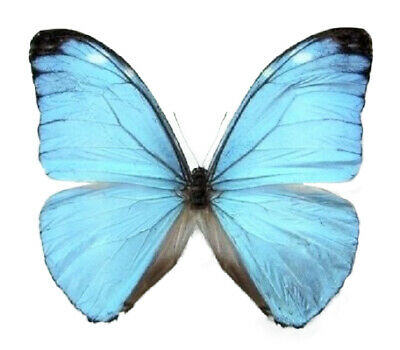 One Real Butterfly Pale Blue Morpho Eugenia Ecuador Unmounted Wings Closed
