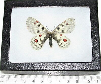 Real Framed Butterfly White Red Parnassius Smintheus Sayii Female Wyoming F3