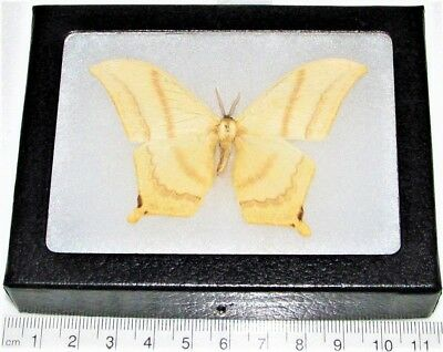 Real Framed Saturn Moth Oxytenis Saturniidae Central America