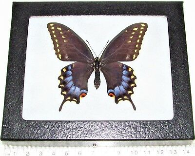 Real Framed Butterfly Blue Papilio Machaon Bairdii Female Arizona