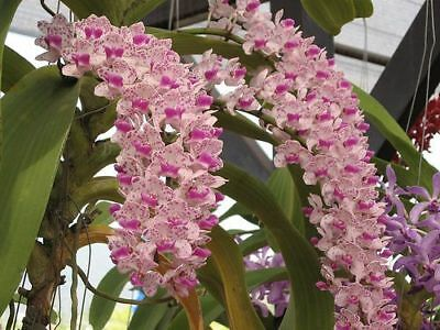 Orchidee   Rhy.  Gigantea   Pink   Jungpflanze    A 13-5