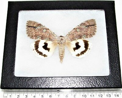 Real Framed Underwing Moth White Catocala Nivea Japan