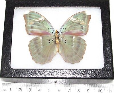 Real Framed Butterfly Green Blue Euphaedra Verso Africa E13