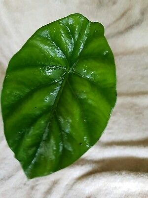 Alocasia Clypeolata - Green Shield - Rare - Unique Foliage - Collectors Plant