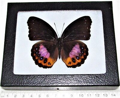 Real Framed Butterfly Purple Hypolimnas Indonesia