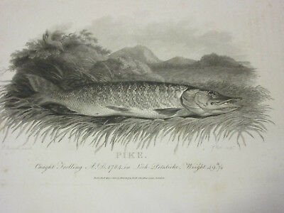 Vintage Rural Sports Pike Fish Print By P Reinagle May 1801 Burney And Gold