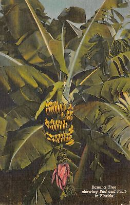 C13-3114, Banana Tree Showing Bud And Fruit, Fl