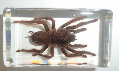Tarantula Spider Golden Earth Tiger in 73x40x15 mm Block Real Insect Specimen