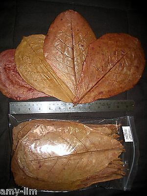 Amy's 20 LARGE Grade B+/A* INDIAN ALMOND CATAPPA LEAVES + 2 Viable Seeds