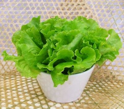 Lettuce Seed 100 Seeds Lactuca Sativa Butter Lettuce Vegetable Garden Seeds C009