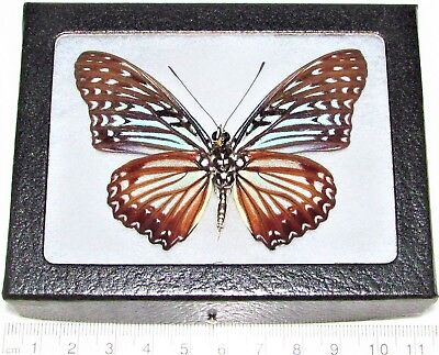Real Framed Butterfly Blue Danaidae Indonesia