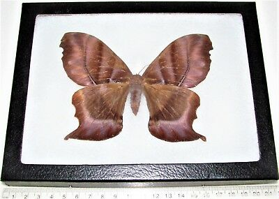 Real Framed Saturn Moth Ciao Female Saturniidae Rare 8In X 6In Frame!