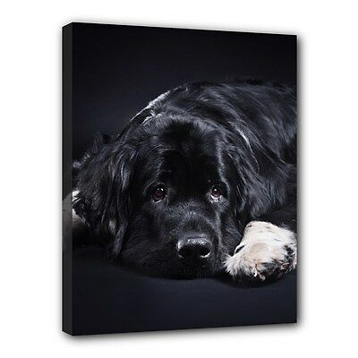 Black NEWFOUNDLAND CANVAS PRINT Newfie Dog Art Portrait Framed Home Decor Gifts