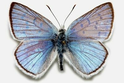 One Real Butterfly Blue Copper Lycaena Heteronea Arizona Unmounted Wings Closed
