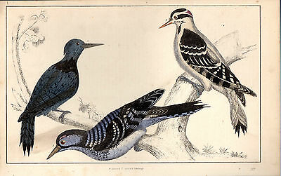- PRINT FROM GOLDSMITH//CUVIER ORIGINAL HAND-COLOURING 1866 3 BIRDS UNKNOWN