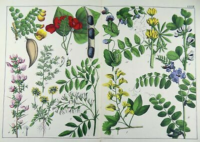 1874 BOTANICAL Double Folio 39 cm fine early color lithograph hand finished