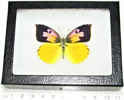 Real Framed Butterfly Yellow Pink California Dogface Zerene Eurydice