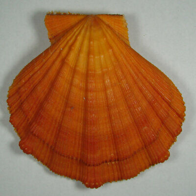 PECTEN NODOSUS 82.60mm BEAUTIFUL RED SPECIMEN Cabo la Vela, Guajira, Colombia