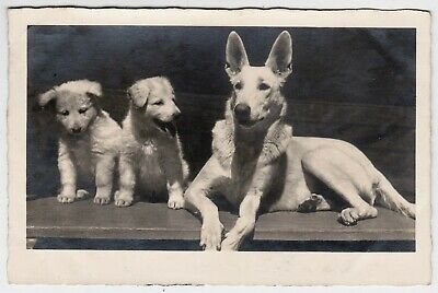 Beautiful White German Shepherd with puppies original vintage 1930s RPPC