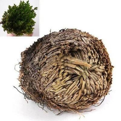 1 Pc Live Resurrection Plant Rose of Jericho Plant Air Fern Spike Moss R30