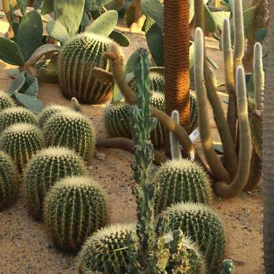 Cactus Mix - 100 / 500 / 1000 Seeds - A Good Assortment Of Species and Forms