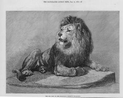1873 Antique Print - LONDON Old Lion  Zoological Society Collection   (270)