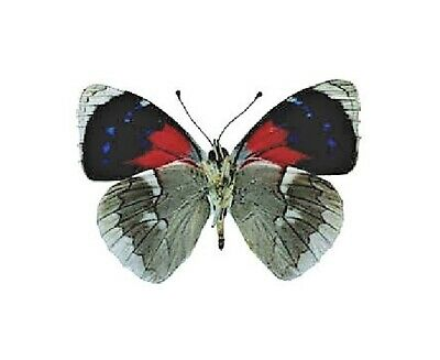 One Real Butterfly Red Blue Perisama Morono Verso Peru Unmounted Wings Closed