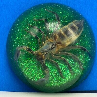 Scorpion specimen taxidermy real insect paperweight green glitter glass figure
