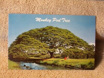Vintage Postcard Hawaiian Monkey Pod Tree Hawaii
