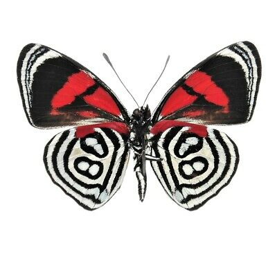 One Real Butterfly Red White Callicore Kolyma Verso Peru Unmounted Wings Closed