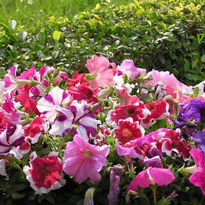50x Mixed Large Morning Glory Seeds Ipomoea Nil Climbing Vine Flower Seed Fashio