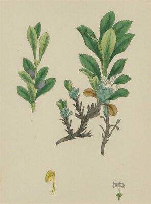 Set of Two Early 20th Century Watercolours - Floral Studies