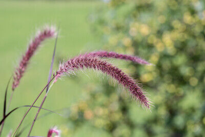 Pennisetum alopecuroides viridescens (Dwarf Purple Fountain Grass) - 20 seeds.