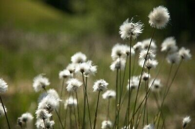 Eriophorum vaginatum (Hare's Tail Cottongrass) - 40 seeds. Native British Grass.