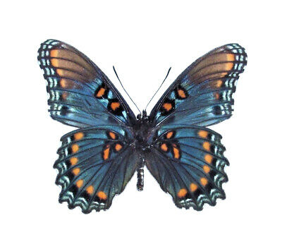 One Real Butterfly Blue Red Spotted Purple Verso Arizona Unmounted Wings Closed