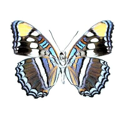 One Real Butterfly Blue Adelpha Arizona Sister Verso Unmounted Wings Closed