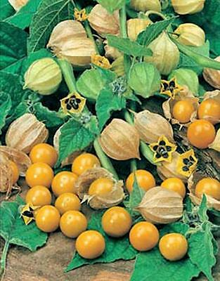 CAPE GOOSEBERRY PERUVIAN ground cherry physalis fruit bush