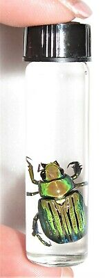 Real Chrysina Gloriosa Green Gold Scarab Beetle Wet Specimen 2In Vial