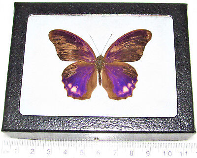 Real Framed Butterfly Pink Purple Terinos Indonesia Rare