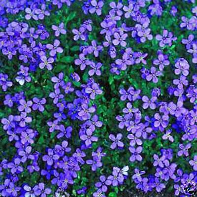 Aubrieta Hybrida - 250+ Seeds - Cascade Royal Blue