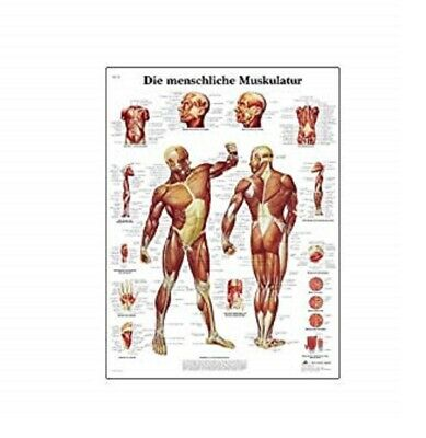 NEW 3B Scientific Human Muscle Chart VR1118L
