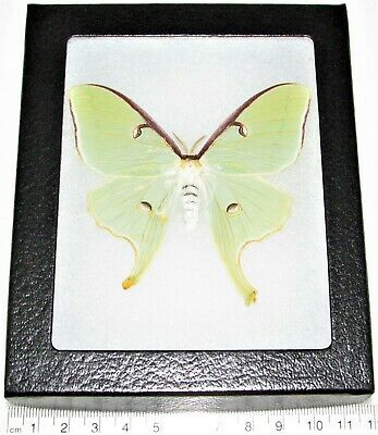 Real Framed Green North American Actias Lunesta Luna Moth Female L5
