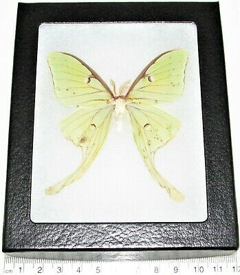 Real Framed Green North American Actias Lunesta Luna Moth Male L8