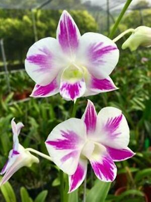 ORCHIDEE   DENDROBIUM   BIG  RED  JUNGPFLANZE  A 5-2